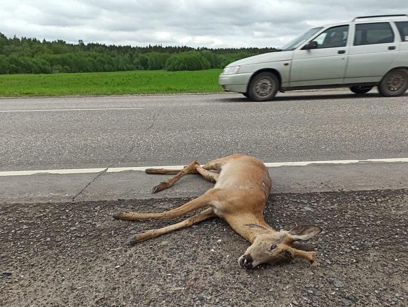 Пять погибших животных: Минэкологии просит водителей быть внимательнее на дороге